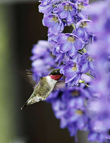Photograph - Hummingbird by John Vose
