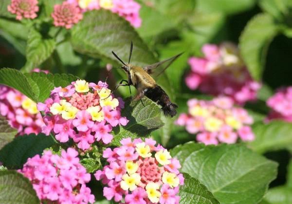 Clearwing Moth Photograph - Hummingbird Moth At Caumsett by Karen Silvestri
