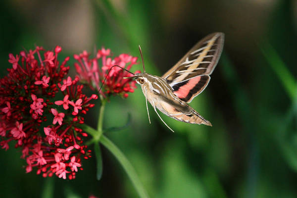 Hummingbird Wings Photograph - Hummingbird Moth by Donna Kennedy