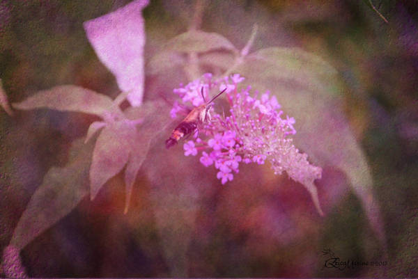 Photograph - Hummingbird Moth- Featured In Comfortable Art Group by Ericamaxine Price