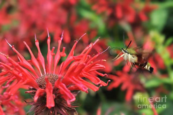 Photograph - Hummingbird Moth Feeding On Red Flower by Dan Friend