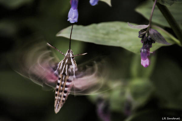 Helen Hunt Falls Photograph - Hummingbird Moth by Lena Sandoval-Stockley