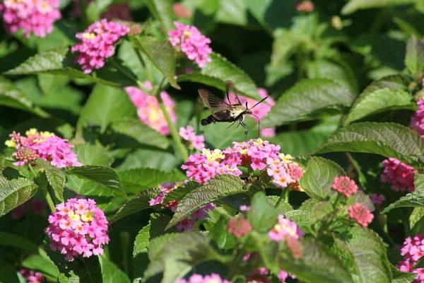 Clearwing Moth Photograph - Hummingbird Moth On Flowers by Karen Silvestri