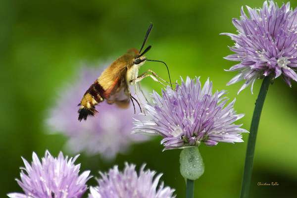 Photograph - Hummingbird Moth On Purple Chive Flowers by Christina Rollo