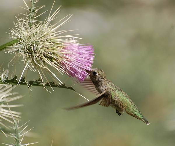 Wall Art - Photograph - Hummingbird On Thistle by Meeli Sonn