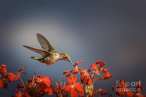 Hummingbird Or My Summer Visitor Art Print