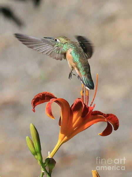 Photograph - Hummingbird Over The Daylily by Carol Groenen