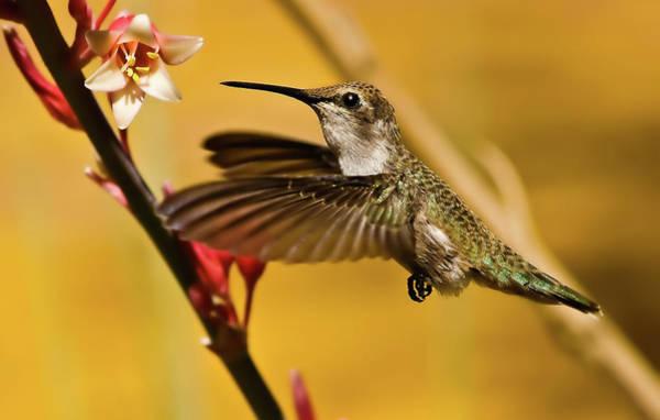 Haybale Wall Art - Photograph - Hummingbird by Robert Bales