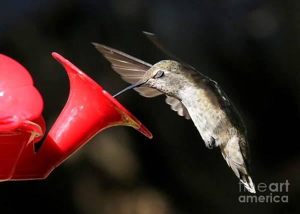 Photograph - Hummingbird Sigh by Carol Groenen