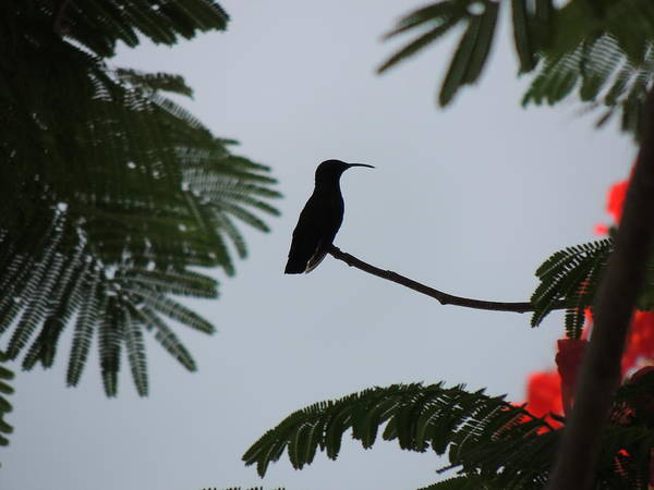 Photograph - Hummingbird Silhouette by Kimberly Perry