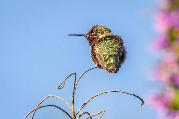 Photograph - Hummingbird Taking A Rest by Pierre Leclerc Photography