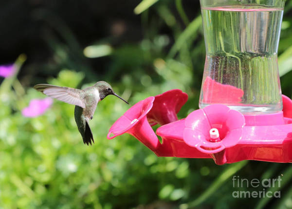 Photograph - Hummingbird Visitor by Carol Groenen