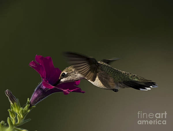 Wall Art - Photograph - Hummingbird Wings by Scarlett Images Photography