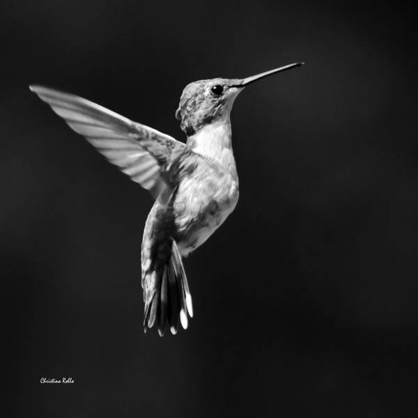 Photograph - Hummingbird Wings Up Square Bw by Christina Rollo