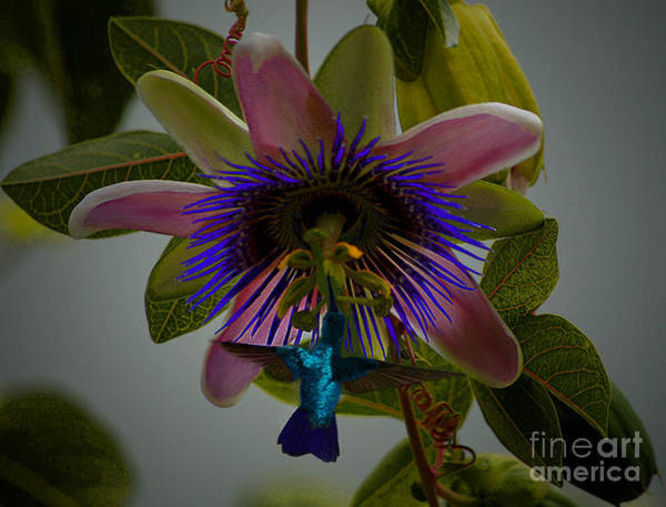 Photograph - Hummingbird With Passion by John  Kolenberg