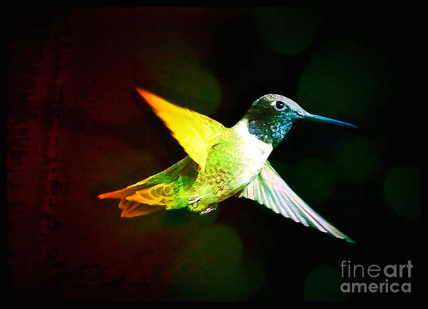 Photograph - Hummingbird With Rainbow Colors by Carol Groenen