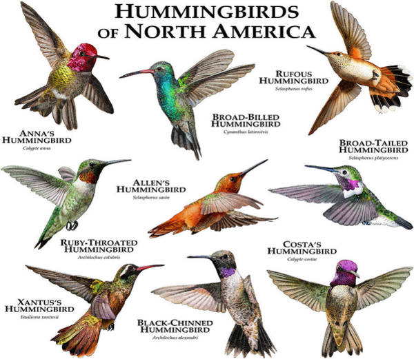 Broad-tailed Hummingbird Photograph - Hummingbirds Of North America by Roger Hall
