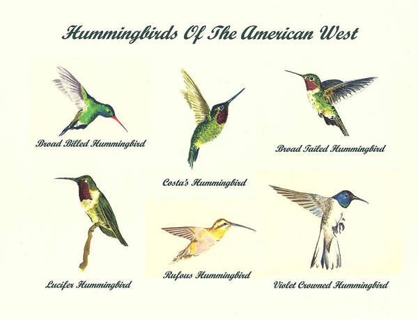 Wall Art - Painting - Hummingbirds Of The American West by Michael Vigliotti