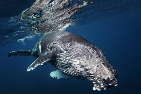 Diving Photograph - Humpback Whale by Barathieu Gabriel