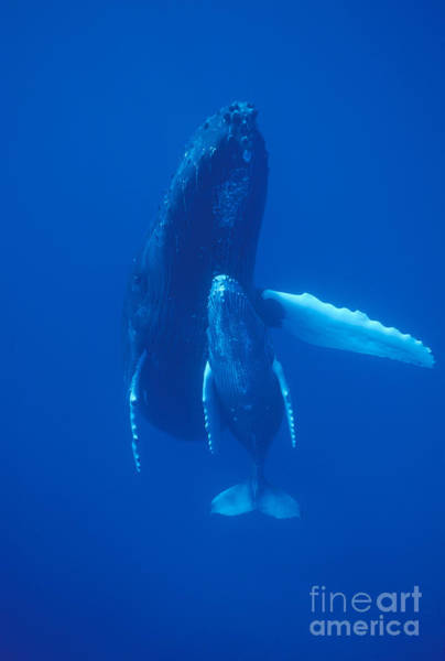 Photograph - Humpback Whale And Calf Maui Hawaii by Flip Nicklin
