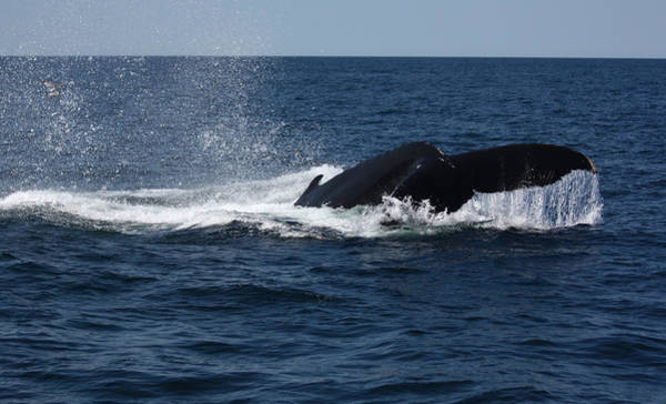 Photograph - Humpback Whale Diving by Jean Clark