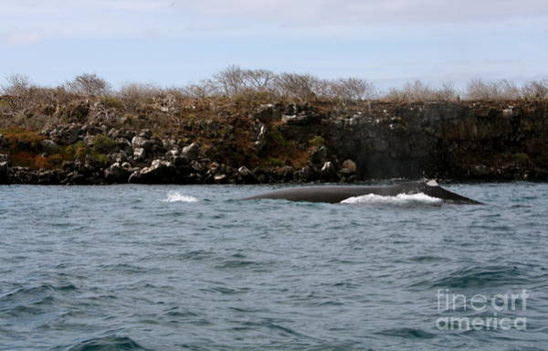 North Seymour Island Photograph - Humpback Whale by Fabian Romero Davila