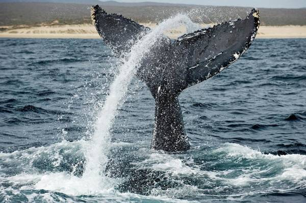 Sea Of Cortez Photograph - Humpback Whale Lobtailing by Christopher Swann