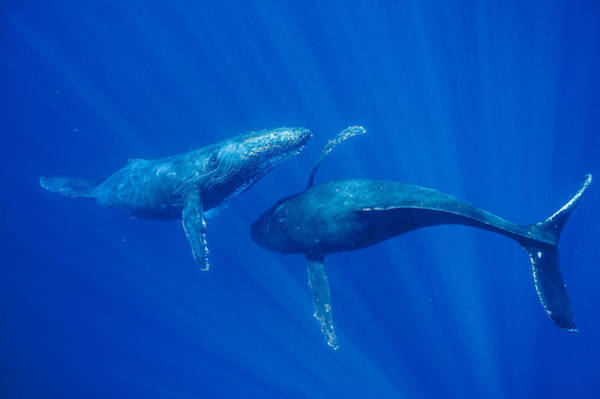Photograph - Humpback Whale Males Interacting Maui by Flip Nicklin