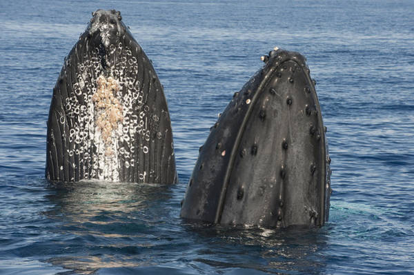 Photograph - Humpback Whale Males Spyhopping Maui by Flip Nicklin