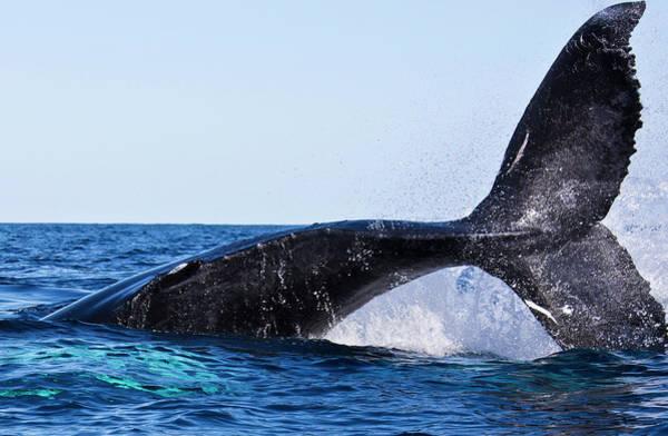 Puerto Plata Photograph - Humpback Whale Mom Calf Males Atlantic by Maya de Almeida Araujo