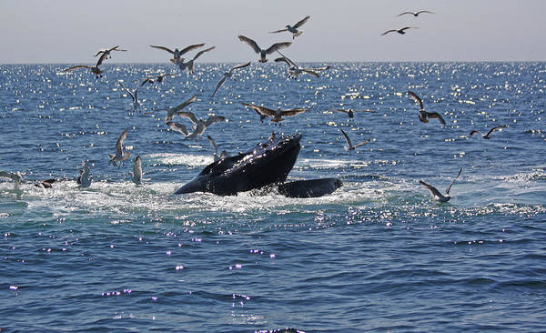 Photograph - Humpback Whale Off Provincetown by Jean Clark