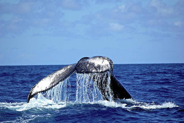 Dominican Republic Photograph - Humpback Whale Tail Slapping by Sallyrango