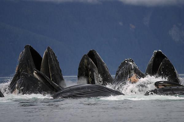 Photograph - Humpback Whales Bubble Net Feeding by Hiroya Minakuchi