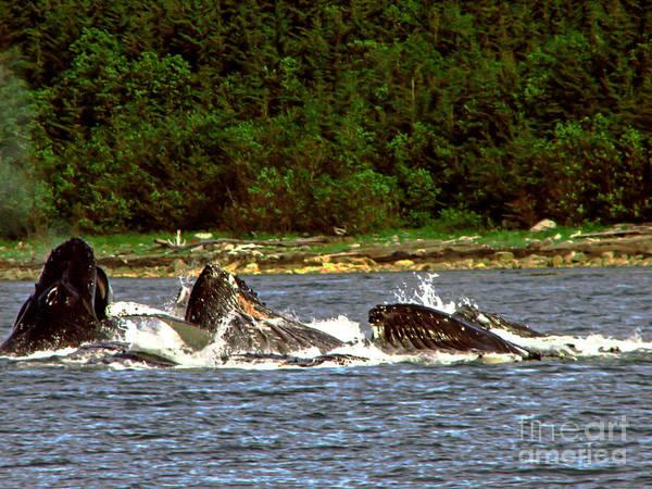 Wall Art - Photograph - Humpback Whales Feeding by Robert Bales