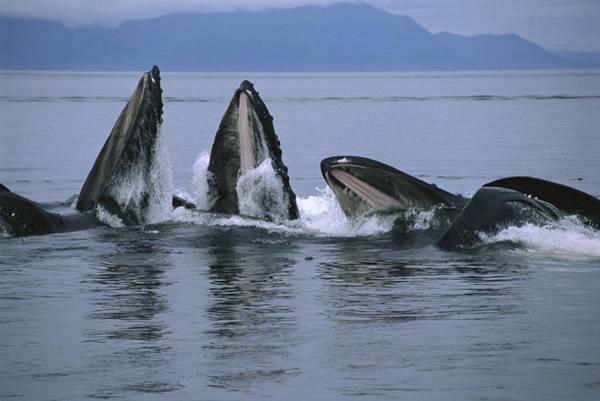Photograph - Humpback Whales Gulp Feeding Southeast by Flip Nicklin