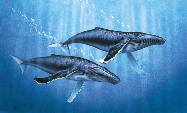 Saltwater Wall Art - Painting - Humpback Whales by JQ Licensing