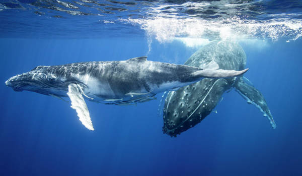 Underwater Photograph - Humpback Whales Swimming Underwater by Cultura Rm Exclusive/richard Robinson