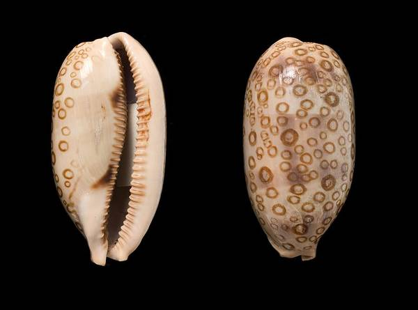 Cypraeidae Wall Art - Photograph - Hundred-eyed Cowrie Shells by Science Photo Library