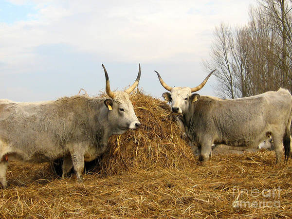 Photograph - Hungarian Grey Cattle by Alexa Szlavics