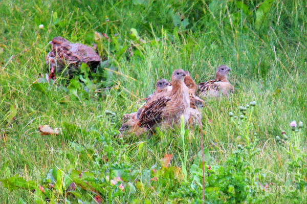 Digital Art - Hungarian Partridge Chicks In Grasses by Donna L Munro
