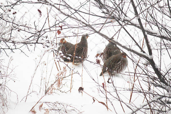 Photograph - Hungarian Partridge Huddle Breakup by Donna L Munro