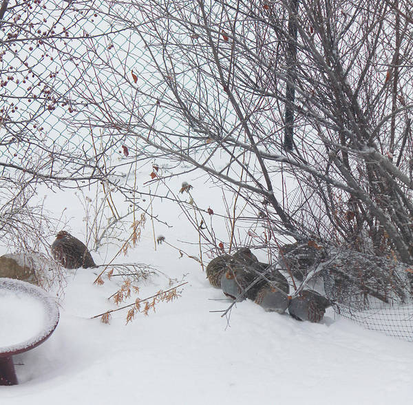Photograph - Hungarian Partridge Huddle by Donna L Munro