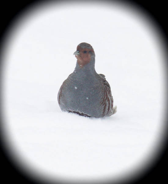 Photograph - Hungarian Partridge Sitting by Donna L Munro
