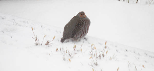 Photograph - Hungarian Partridge Walking The Line by Donna L Munro