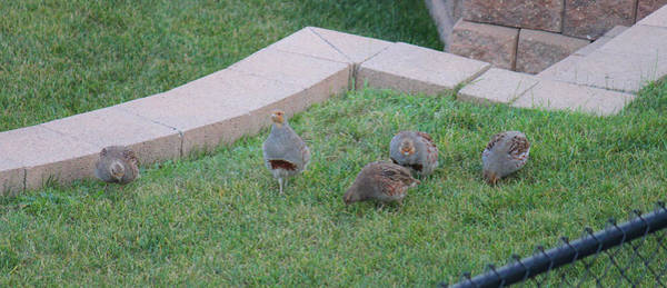 Photograph - Hungarian Partridges by Donna L Munro