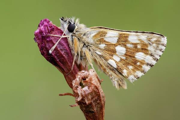 Imago Photograph - Hungarian Skipper Butterfly by Heath Mcdonald