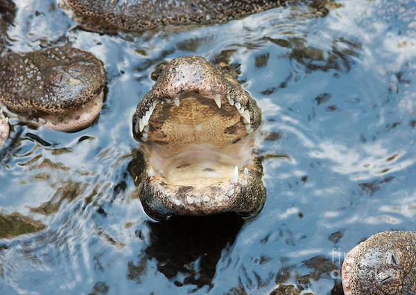 Feed Me Photograph - Hungry Baby Alligator by Robert Wirth