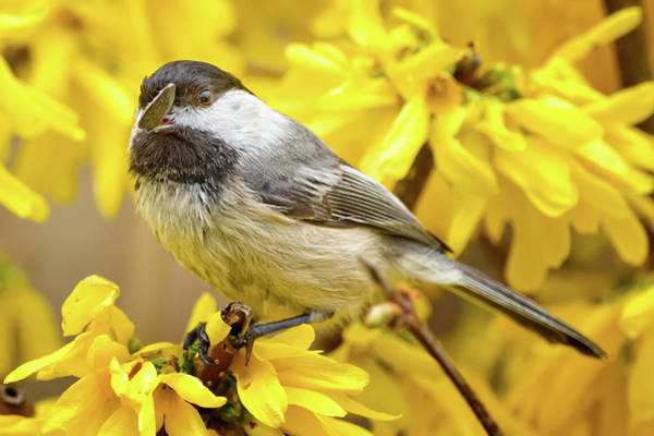 Forsythia Photograph - Hungry Bird by Bill Wakeley