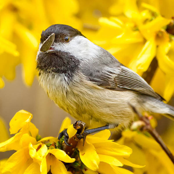 Forsythia Photograph - Hungry Bird Square by Bill Wakeley