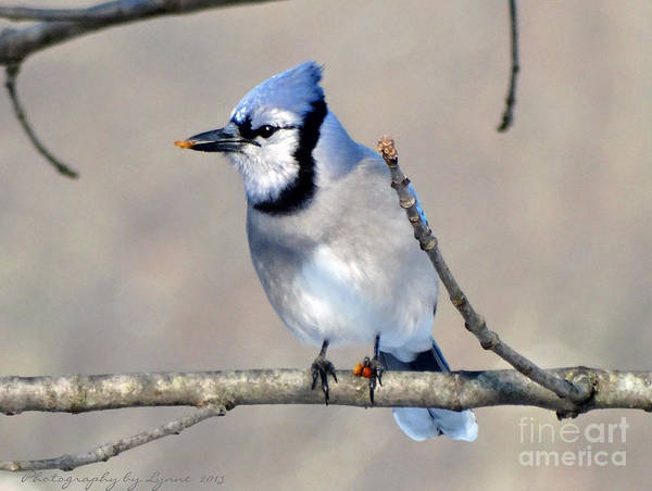 Photograph - Hungry Blue Jay - 2 by Gena Weiser